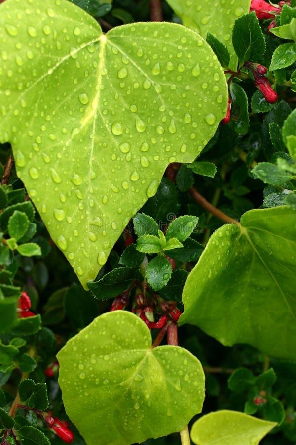 Blätter abgedeckt im Tau stockfoto
