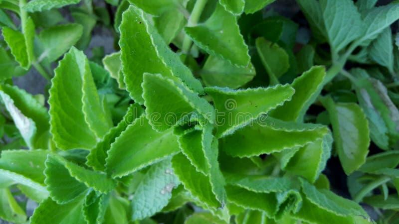 Blätter Buntlippe Amboinicus Lour, eins der Kräuterhustenmedizin ohne Nebenwirkungen stockfotos