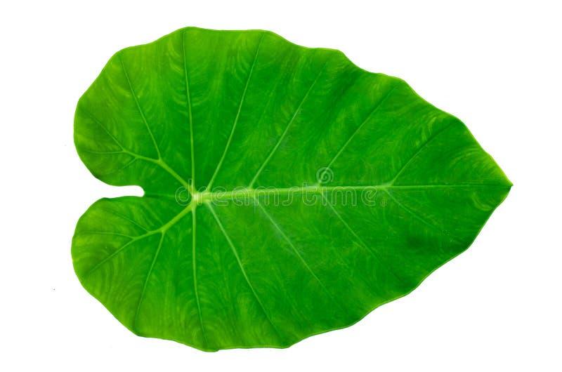 Blätter Calathea-ornata Stiftstreifen-Hintergrund weißes Isolat stockbilder