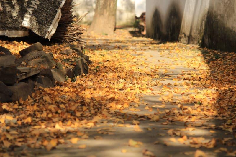 Blätter Chinas Autumn Ginkgo lizenzfreie stockfotografie
