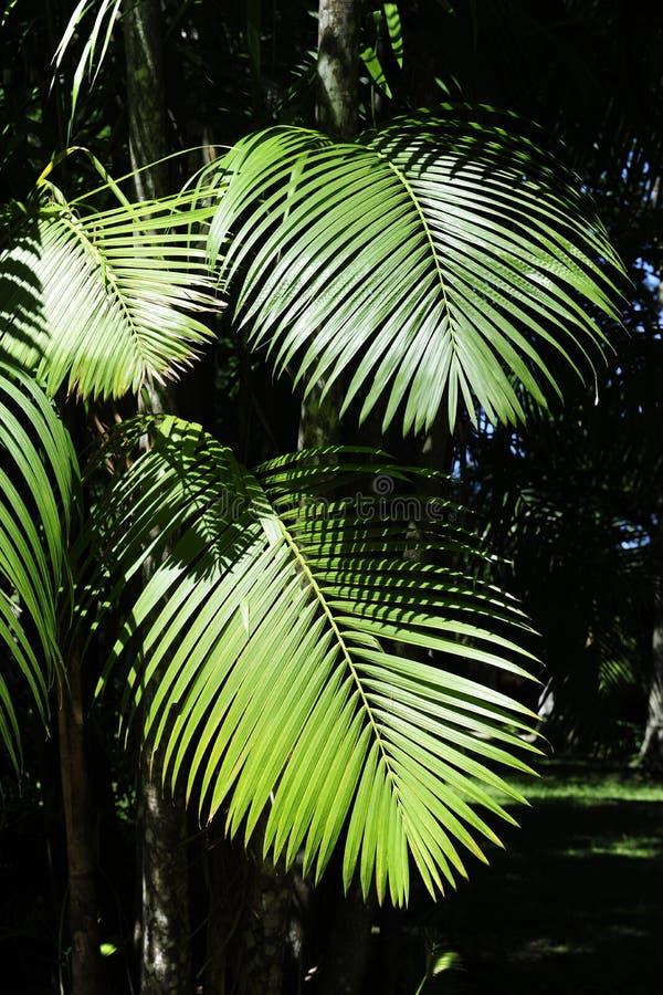 Blätter der acai Palme lizenzfreie stockfotos