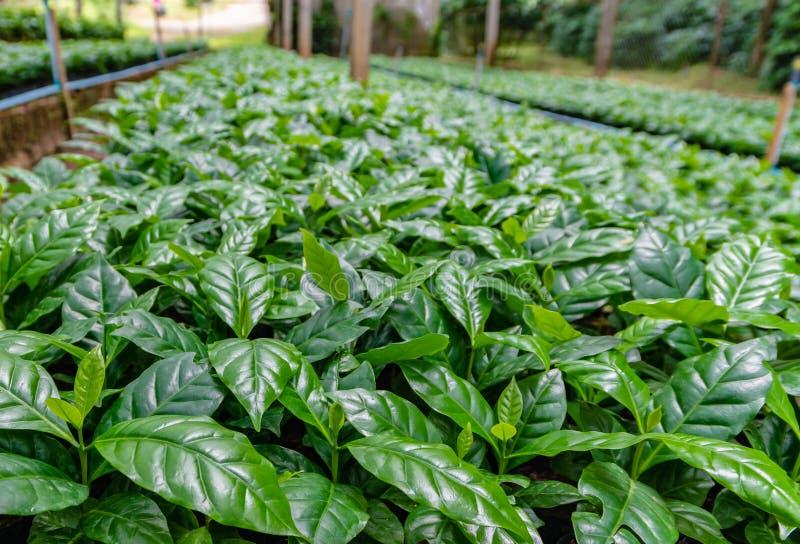 Blätter der Arabicakaffee-Forstbaumschuleplantage stockfotos