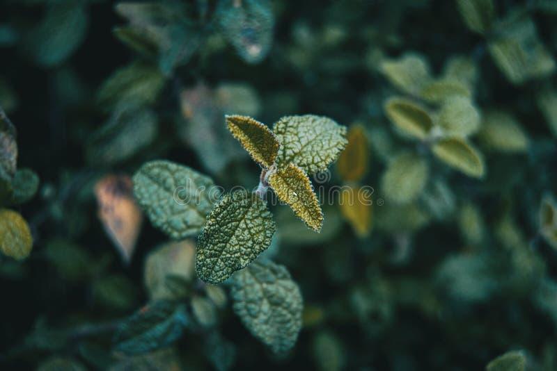Blätter der Cistus salviifolius Anlage im Berg lizenzfreie stockfotos