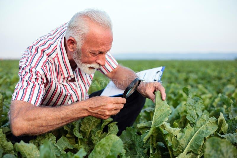 Blätter der ernste ältere Agronom oder Untersuchungszuckerrübe oder der Sojabohne des Landwirts mit Lupe stockfotografie