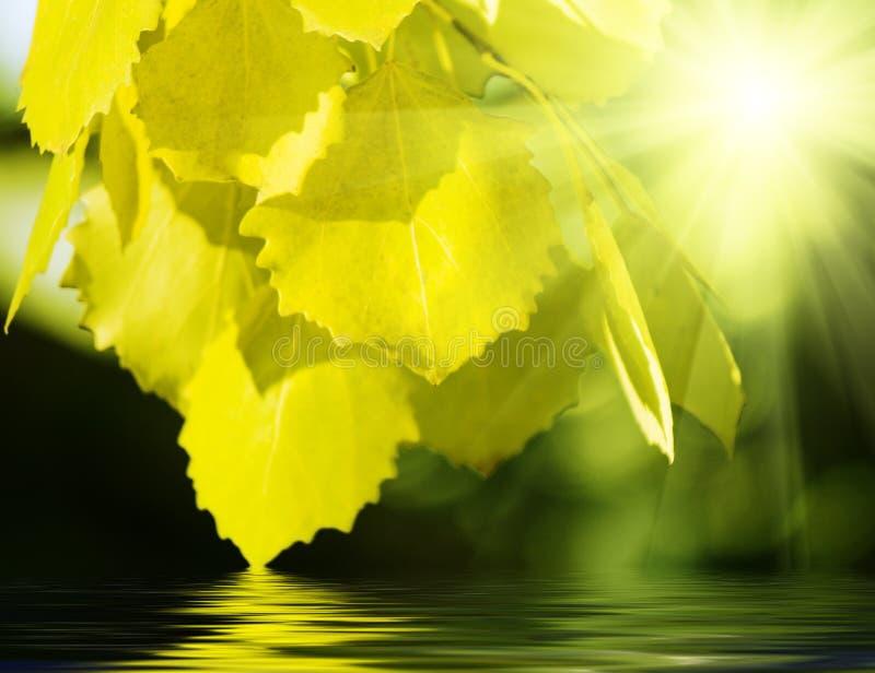 Blätter der Espe stockfotos