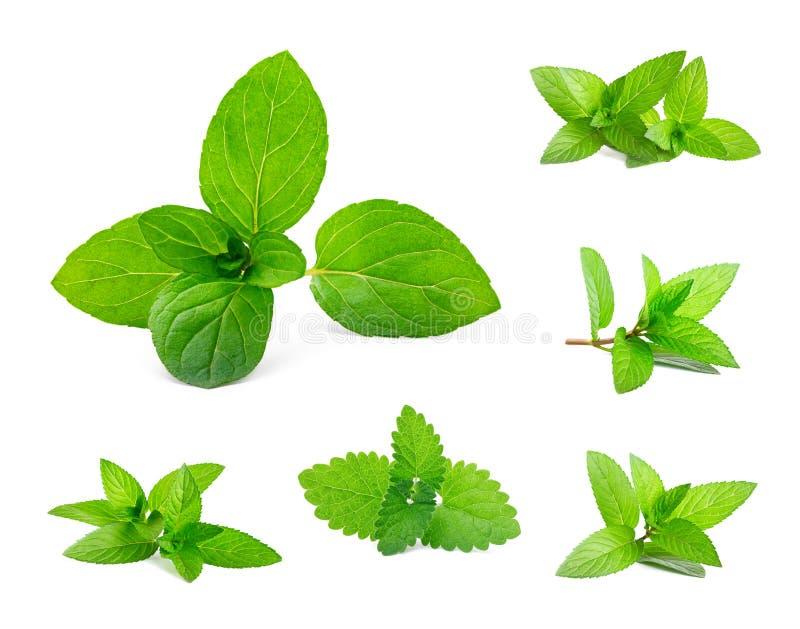 Blätter der frischen Minze und der Melisse stockfoto