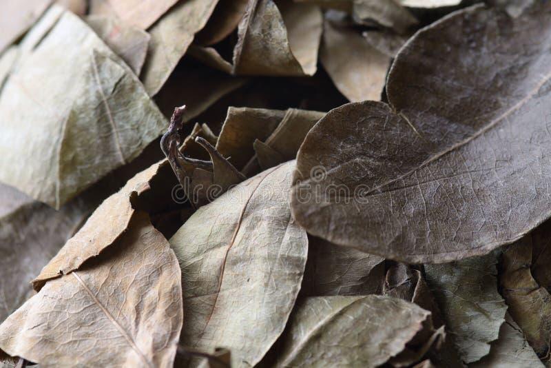 Blätter der Koka lizenzfreie stockfotos