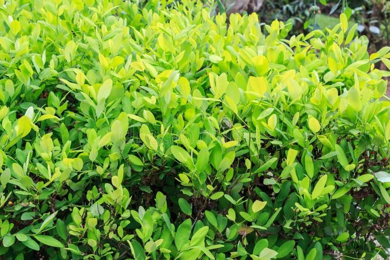Blätter der Kokaanlage lizenzfreies stockfoto