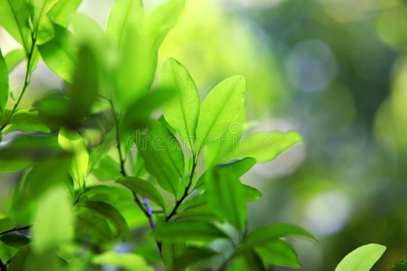 Blätter der Kokaanlage lizenzfreie stockfotos