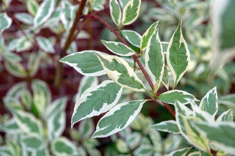 Blätter der Kornelkirsche Controversa Variegata stockfotografie