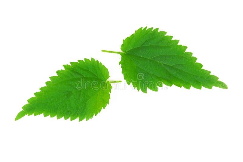 Blätter der Nessel lizenzfreie stockfotografie