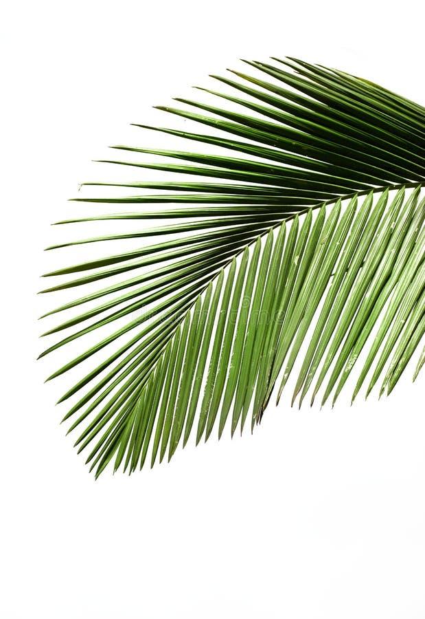 Blätter der Palme lizenzfreie stockbilder