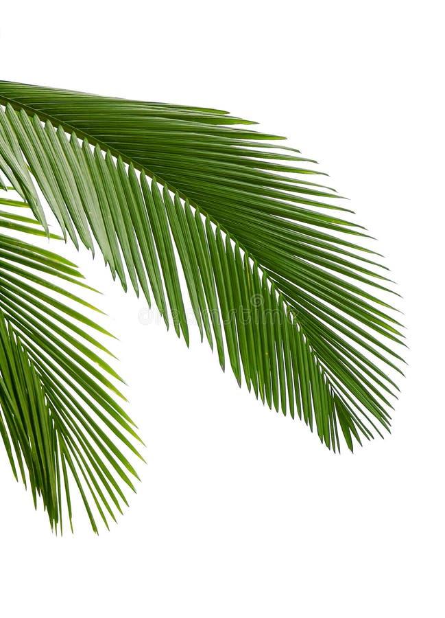 Blätter der Palme stockfoto