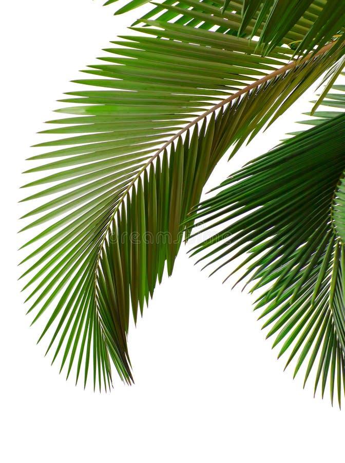 Blätter der Palme stockbilder