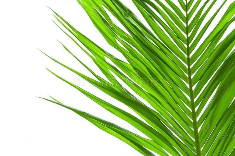 Blätter der Palme lokalisiert auf weißem Hintergrund stockbilder