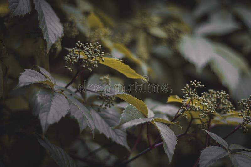 Blätter der wilden Traube Mysteriöser natürlicher Hintergrund Ansicht zum Welterbeschlo? von Cesky Krumlov Horizontal gestaltetes lizenzfreie stockbilder