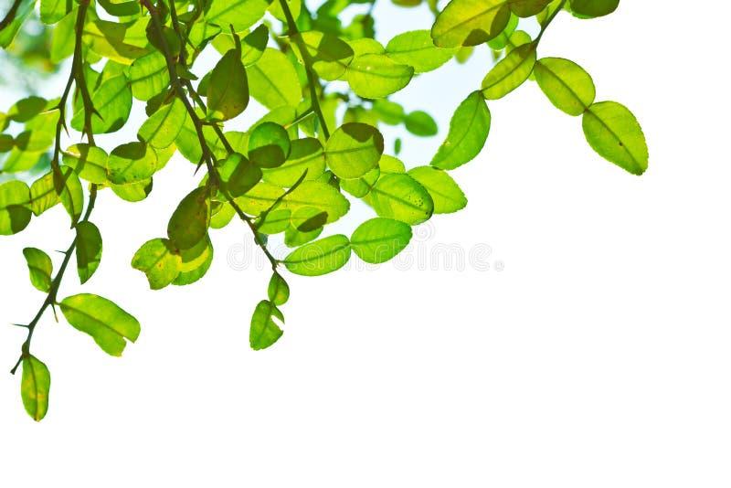 Download Blätter des Baums stockbild. Bild von konzept, botanik - 26352417