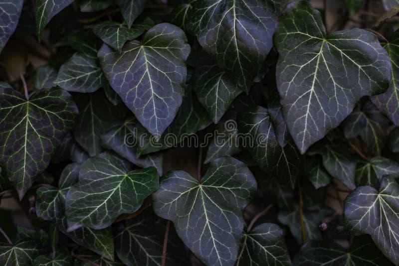 Blätter des Efeus bedecken den Gartenzaun Front View stockfotos