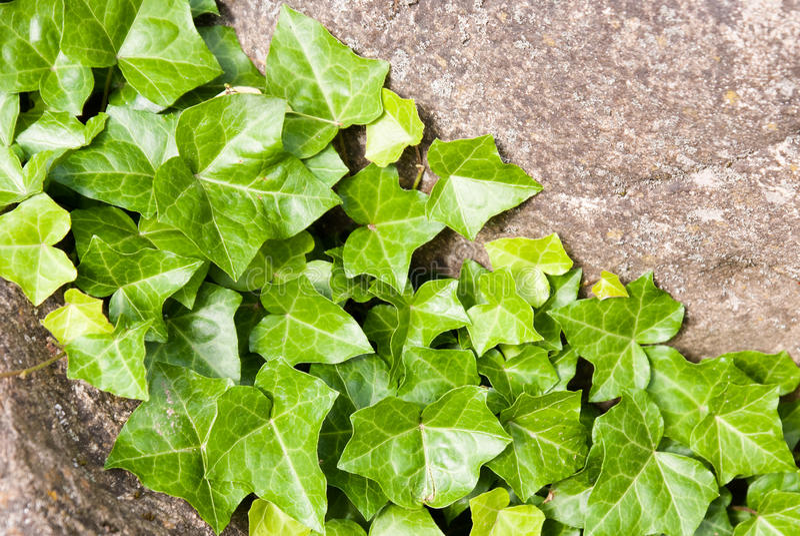 Blätter des frischen grünen Efeus stockfotos