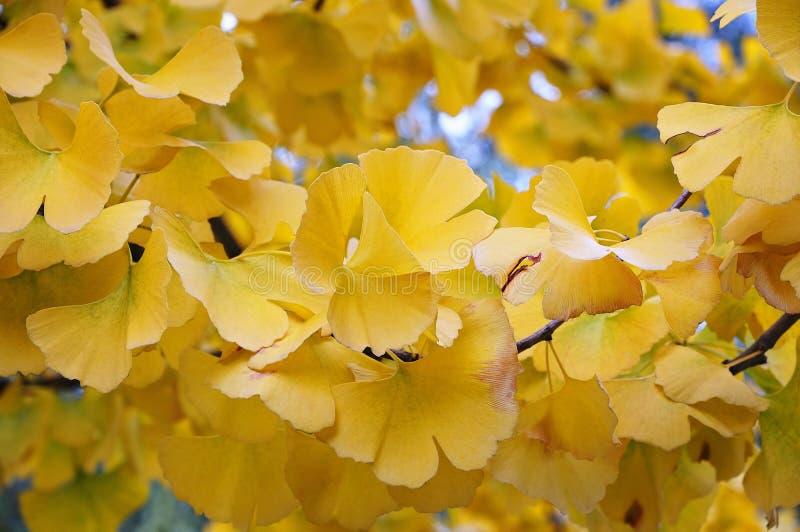 Ginkgobaum im Herbst stockfotos