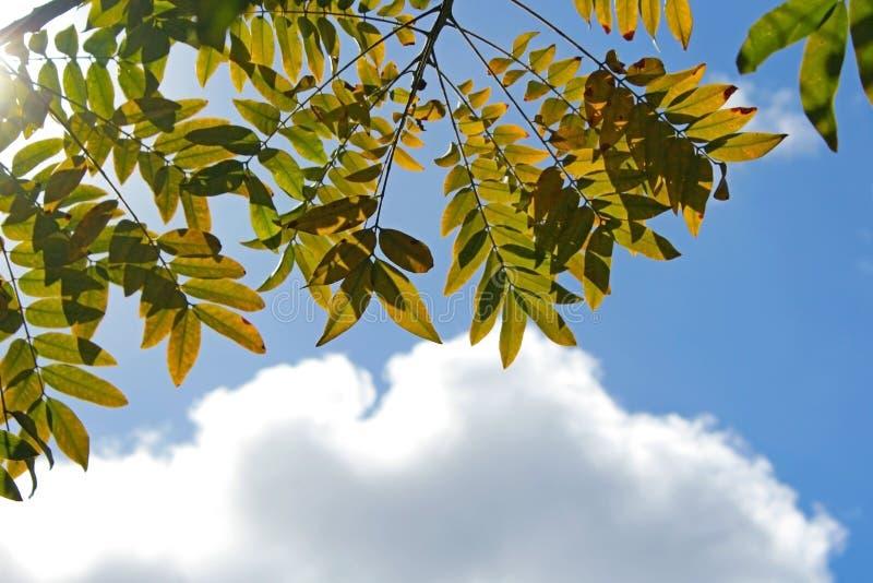 Blätter des Goldmedaillonbaums unter blauem Himmel lizenzfreies stockbild