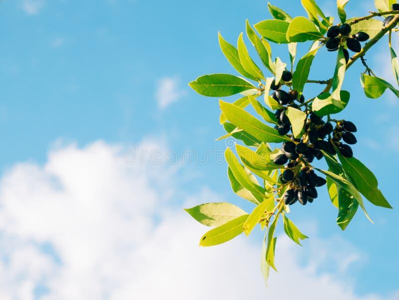 Blätter des Lorbeers und der Beeren auf einem Baum Lorbeerblatt im wilden stockfotos