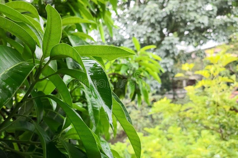 Blätter des Mangobaums Natur umfasst mit waterdrops während eines Regensturms lizenzfreie stockfotografie