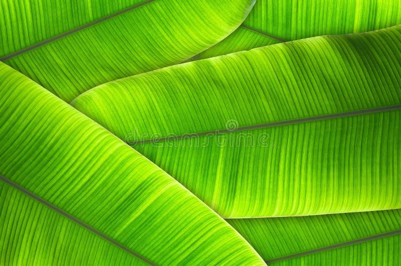 Blätter des strukturierten abstrakten Hintergrundes der Bananenstaude lizenzfreie stockfotografie