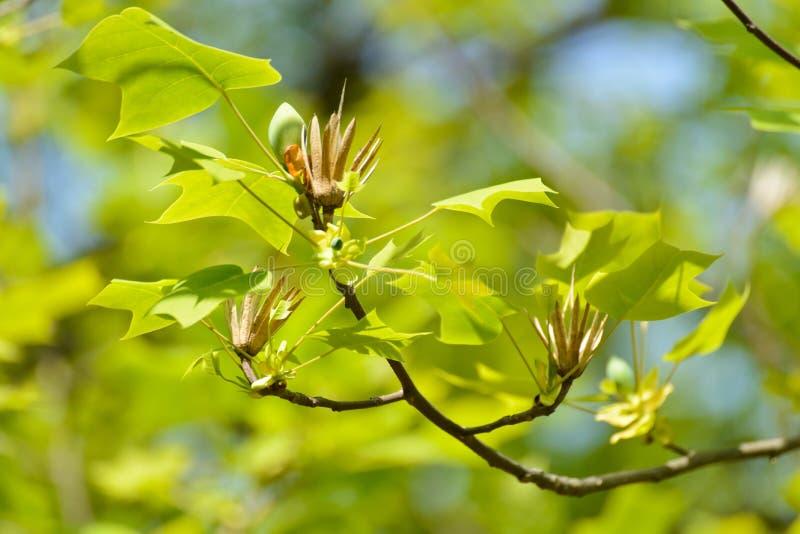 Blätter des Tulpenbaums lizenzfreies stockbild