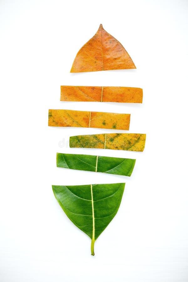 Blätter des unterschiedlichen Alters des SteckfassungsObstbaumes auf weißem hölzernem backg lizenzfreie stockfotografie