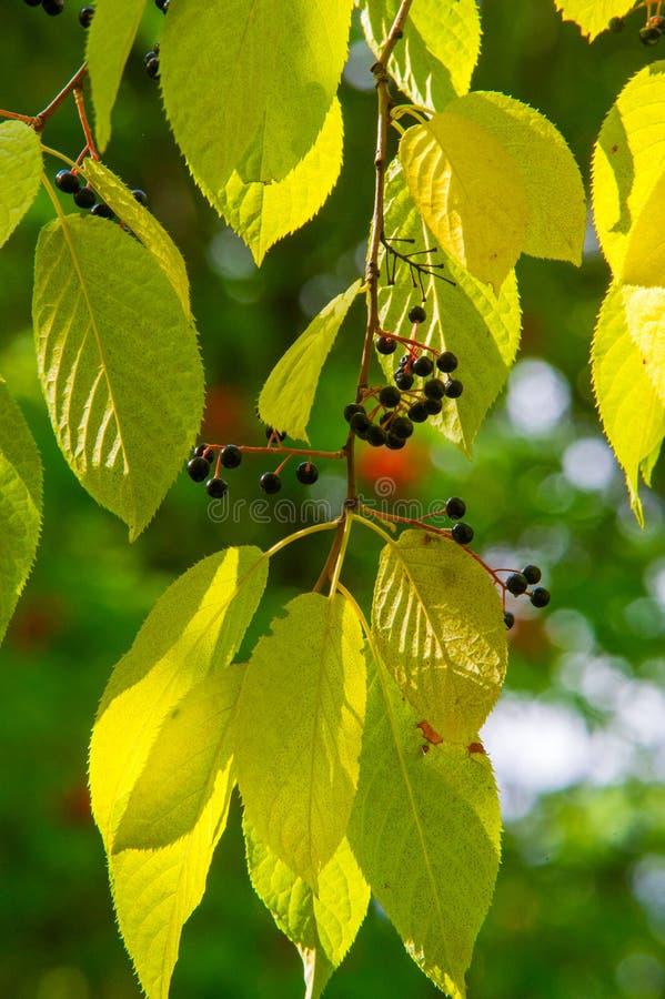 Blätter des Vogelkirschbaums - in lateinischem Prunus maackii, auch Padus lizenzfreie stockbilder