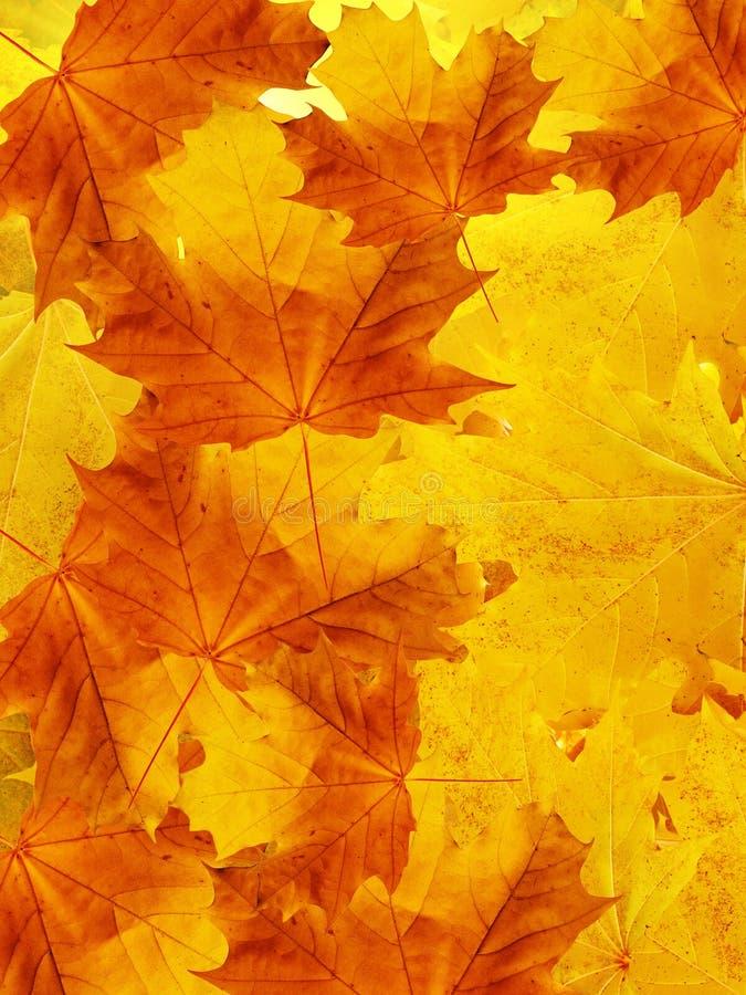 Blätter eines Baums ein Ahornholz lizenzfreies stockbild