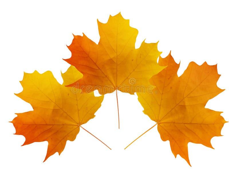 Download Blätter Eines Baums Ein Ahornholz Stockfoto - Bild von trocken, frech: 9092412