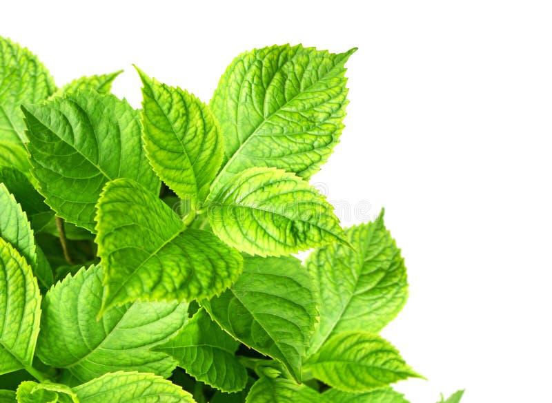 Blätter eines Hydrangea lizenzfreie stockfotografie