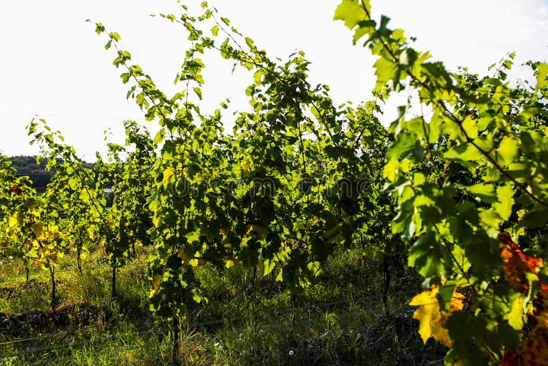 Blätter für Trauben und Wein, Ernte lizenzfreie stockbilder