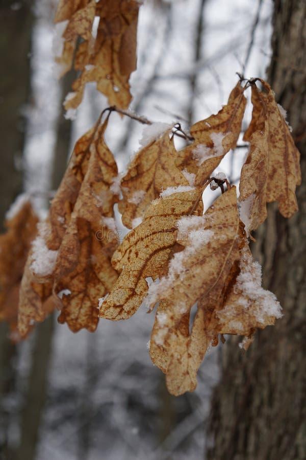 Blätter im Schnee stockbilder