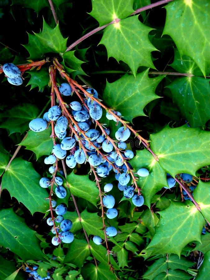 Blätter Und Beeren 3 Lizenzfreie Stockfotografie