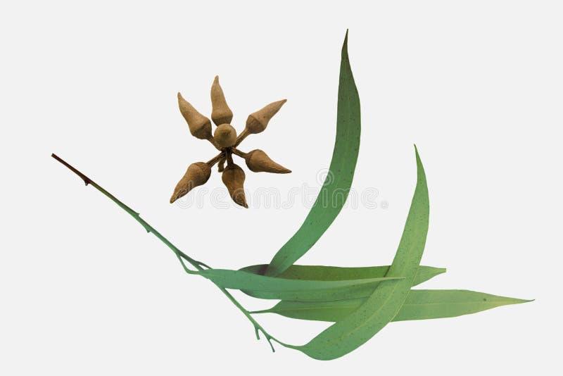 Blätter und Krone-Birne-förmige Knospen von Corymbia-citriodora, Zitrone stockfoto