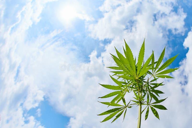 Blätter und Stamm der wilden Cannabis marihuana auf blauem Himmelshintergrund stockfotos