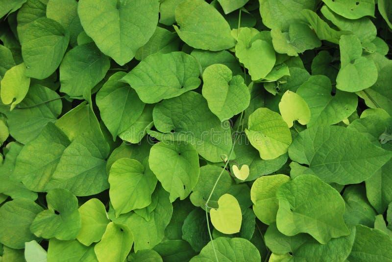 Blätter von Aristolochia lizenzfreies stockbild