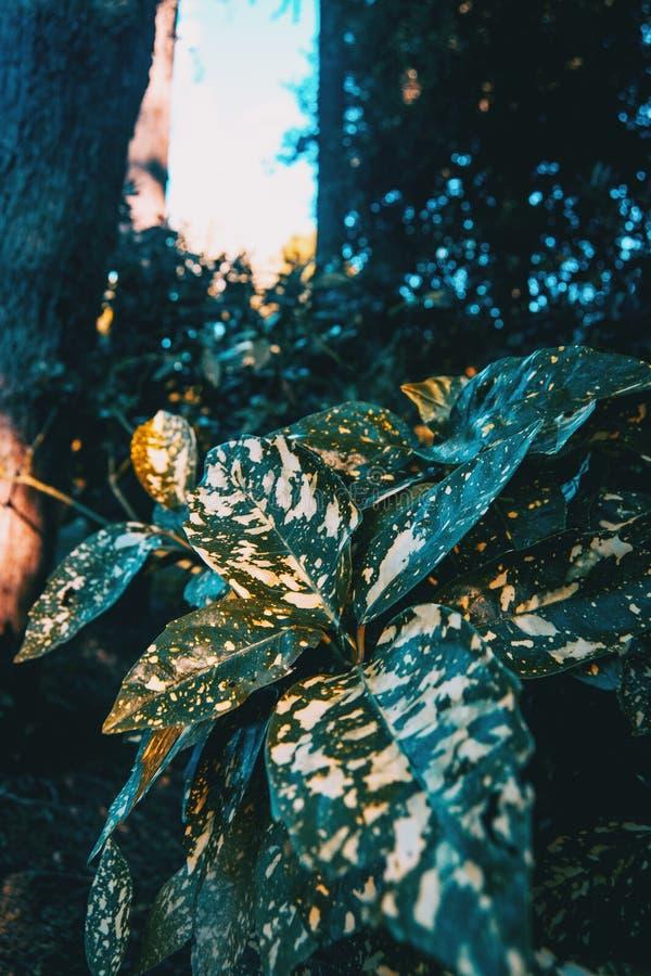 Blätter von aucuba japonica stockbilder
