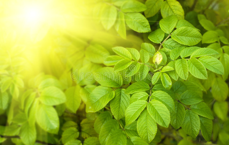 Blätter von dogrose stockbilder
