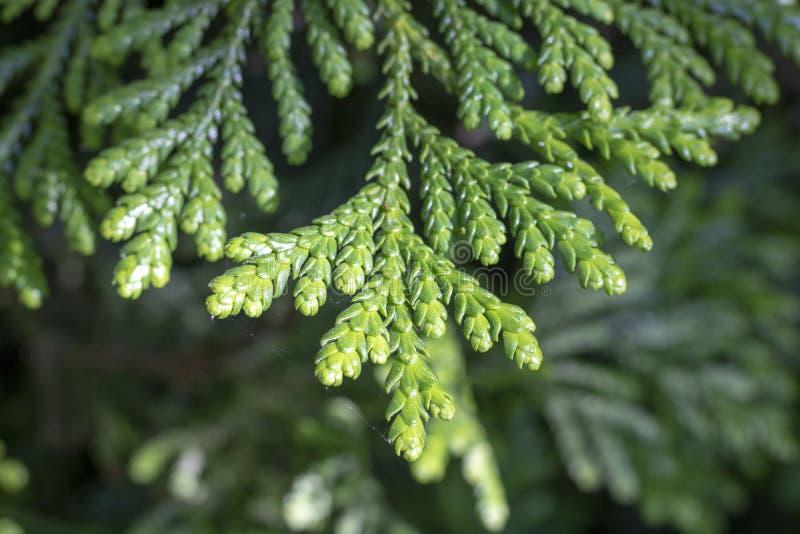 Blätter von westlichem redcedar ( Thuja plicata) Baum lizenzfreies stockbild