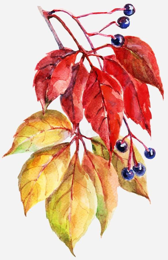 Blätter von wilden Trauben, Aquarell, Muster auf einem weißen Hintergrund stock abbildung