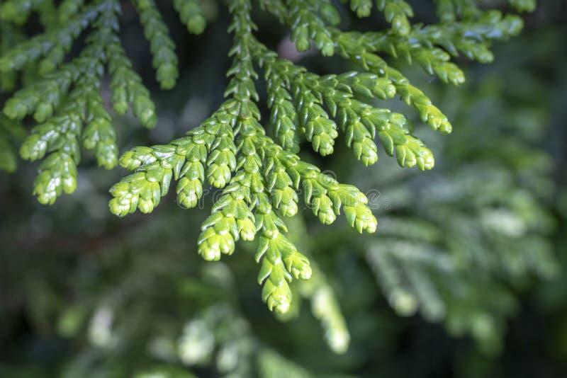 Blätter westlichen redcedar Thuja plicata Baums stockbilder