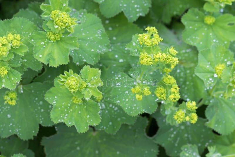 Blätter Wiesen-Frauenmantel und gelbe Blumenknospen mit Wassertropfen stockfotos