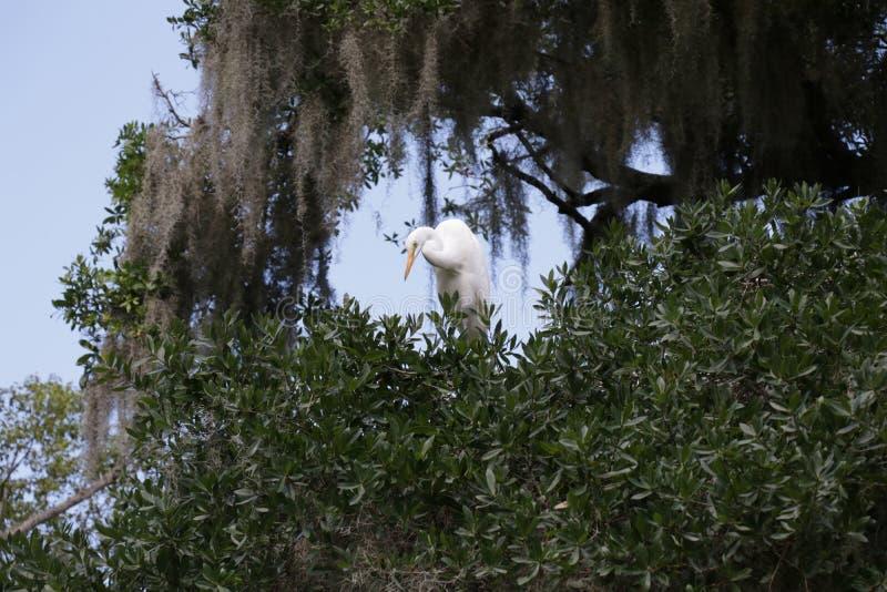 Blå öron, vit morf, genomgick en trädgren i en central Florida-park som förbisåg sjön arkivbild