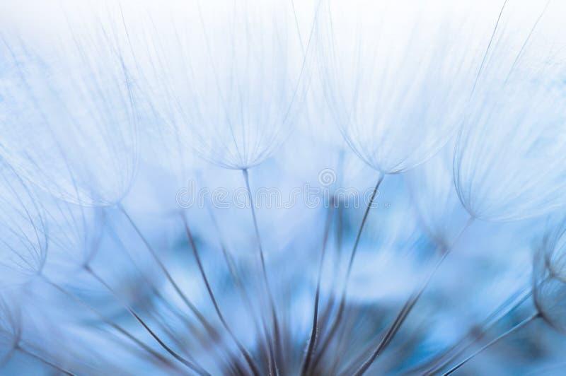 Blå abstrakt maskrosblommabakgrund, closeup med mjuk foc fotografering för bildbyråer