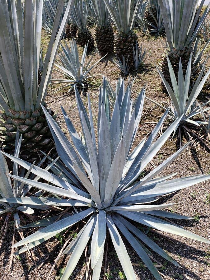 blå agaveväxt i växande område för produktion av tequiladrinken arkivbild