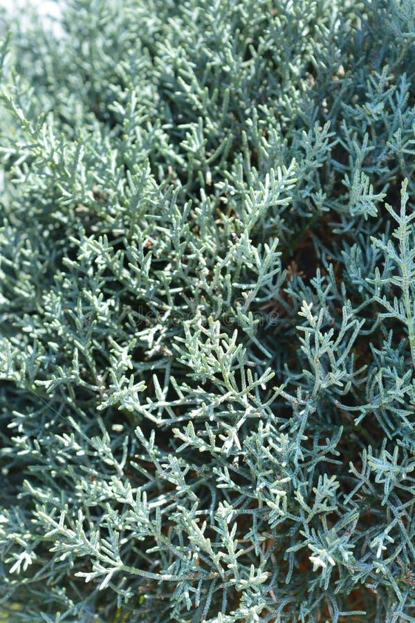 Blå Arizona cypress royaltyfria bilder